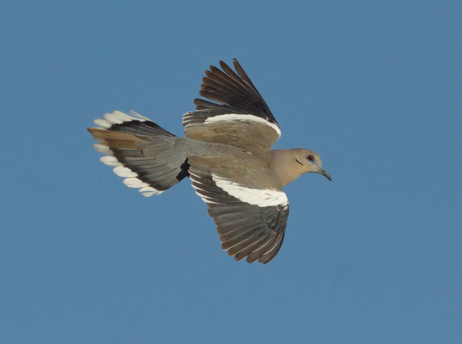 Whitewingdove